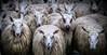 The stampede (calvin.downes) Tags: shropshire sheep shrewsbury livestockmarket
