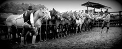 Empeando a lida... (Eduardo Amorim) Tags: horses horse southamerica field brasil criollo caballo cheval caballos mare campo cavalos pelotas pferde cavalli cavallo cavalo gauchos pferd riograndedosul pampa champ hest hevonen campanha brsil chevaux mangueira gaucho gua  yegua amricadosul hst gacho  campero amriquedusud  gachos  sudamrica suramrica amricadelsur  sdamerika crioulo caballoscriollos criollos   costadoce camperos americadelsud  crioulos cavalocrioulo americameridionale caballocriollo campeiros potreiro auffangen campeiro cavaloscrioulos