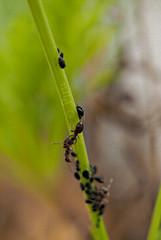 Pastoreando. (Piruletadecafe) Tags: naturaleza plant macro verde planta bokeh ant gimp olympus galicia desenfoque santiagodecompostela animales bichos hormiga em1 rebao contigo pulgn zuiko35mm photoscape piruletadecafe