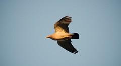 puesta del sol (Mostly Tim) Tags: bird birds bolivia pjaros vgel bolivien vogel pjaro