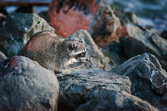 Raccoon (Chen Yiming) Tags: sanfrancisco cliff animal rock treasureisland eating shoreline thief bayarea sanfranciscobay raccoon stealing