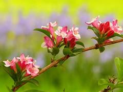 Flowering branch (libra1054) Tags: flowers flores macro nature closeup fleurs garden flora outdoor natur blossoms jardin natura jardim fiori garten giardino blten jardn