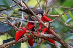 Ambon Sunbird #2 (Plain Sunbird) (168tos) Tags: flower bird indonesia nectar sunbird ambon
