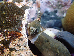 Yaquina Head tide pools (BLMOregon) Tags: lighthouse pool oregon tide newport pacificnorthwest oregoncoast yaquinahead tidepools tidepool yaquina