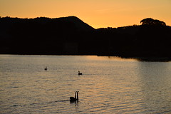 Swanset (Luke6876) Tags: sunset mountain tree bird water animal swan wildlife blackswan australianwildlife tenterfield