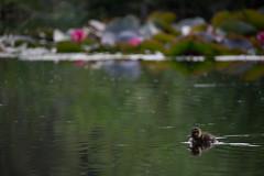 Mallard chick in the lotus (Silver Babar) Tags: park light lake canada flower cute bird nature water beautiful vancouver duck pond lotus wildlife lagoon columbia beaver chick stanley british mallard anas platyrhynchos loost