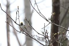 Golden-winged Warbler (Rita Wiskowski) Tags: park wisconsin golden spring foggy buds cudahy migration bluff warbler songbird fallout sheridanpark goldenwingedwarbler milwaukeecounty