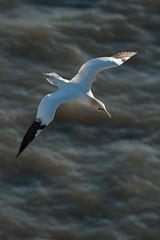 SJ7_7839 (glidergoth) Tags: birds coast flying yorkshire flight cliffs breeding colony seabird gannet morusbassanus rspb bemptoncliffs britishbirds