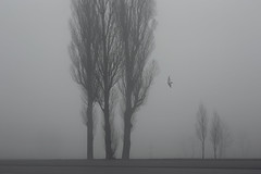 boundaries (Mindaugas Buivydas) Tags: trees bw mist tree bird birds fog dark march spring mood moody darkness seagull gull minimal minimalism klaipeda lithuania lietuva klaipda humantouch