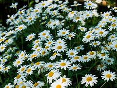 white cosmos flowers in nature (defendanimals2) Tags: park morning pink blue autumn light sunset summer sky white plant flower macro green texture nature floral beautiful field grass yellow closeup garden season spectacular landscape petals spring flora colorful close bright blossom outdoor many background joy meadow vivid sunny surface fresh petal r daisy bloom backdrop environment serene bud pollen botany chrysanthemum plenty dasies cosmos multitude gentle flourish blooming inflorescence oxeye fertile heyday leucanthemum asterales coreopsideae