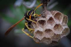 Hymenoptera : Vespidae : Polistes gallicus (Linnaeus, 1767) Femelle (Ihagee86) Tags: fujifilm micronikkor macrophotographie fujifilms5pro proxyphotographie fujifilmfinepixs5pro macrolife micronikkormf200mmf4ai