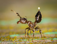IMG_0863-3-2 (Pascal Guay) Tags: nature water droplets acid ant arching defend sprinkled crematogaster formic cerasi