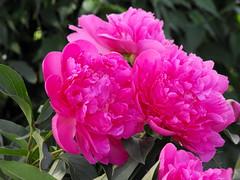 Peonies (Stella VM) Tags: pink flowers garden spring peonies