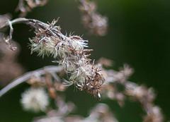 Flowers (pascal_guillaumet) Tags: flower nature bokeh bronica canondslr vintagelens zenzanon fotodiox 5dmk2 bronicalens etrlens