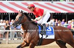Bourbon Courage before the 2015 GI Forego at Saratoga (Rock and Racehorses) Tags: ny saratoga 2015 forego bourboncourage webbourboncourage2234