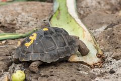 Baby Giant Tortoise (monique.timlick) Tags: park old shells detail cute green southamerica canon lunch happy ecuador colours bright eating tortoise large adorable shell sharp age scales sancristobal gianttortoise galapagosislands babytortoise breedingreserve