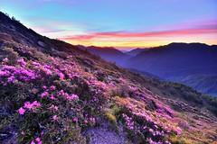 Rhododendron rubropilosum Sunrise (Shangfu Dai) Tags:  taiwan  hehuan nikon d800 landscape    sunrise    afs1635mmf4     rhododendronrubropilosum taiwanalpinerhododendron