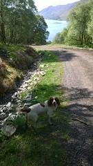 Farm dog near Melm forest Ullapool (magyardave2002) Tags: dog scotland loch florafauna