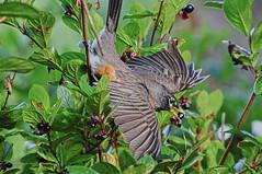 Love those Berries (Team Hymas) Tags: park robin berries state feeding oregoncoast beachside