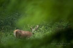 niadanie (wojtekwalczak81) Tags: las deer buk ziele niadanie jele scypu