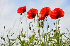 Les 4 coquelicots (Croc'odile67) Tags: flowers red fleurs rouge nikon sigma poppies coquelicots d3200 pavots 18200dcoshsmc