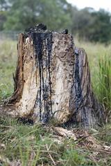 Rubber Sole (daniel_james) Tags: tree rural farm australia stump nsw bentley northcoast 2016 burntrubber northernrivers tamron60mmmacro burningoftheboots