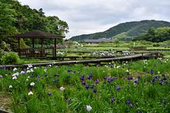 -589 (Mio:D) Tags: iris flower  ise