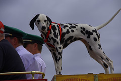 Budwieser Dalmation (swong95765) Tags: dog beer ride canine parade mascot spots bud budweiser