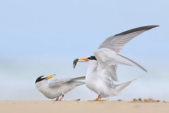 Least Tern Courting/Mating Series 6/10 (bmse) Tags: food fish beach fog canon overcast mating l ritual f56 behavior least tern exchange courting salah 400mm wingsinmotion 7d2 hunntington bmse baazizi