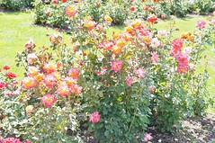 11807667_10153099681437076_6976756059929328637_o (jmac33208) Tags: park new york roses rose garden central schenectady