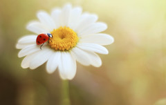 Chamomile (ElenAndreeva) Tags: flowers light summer sun flower color macro cute nature colors beautiful daisies canon bug garden insect spring amazing colorful sweet dream chamomile ledybug