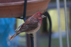 IMG_2037 (armadil) Tags: bird birds backyard finch purplefinch