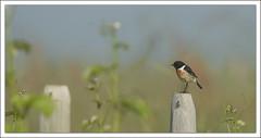 Tarier ptre (guiguid45) Tags: bird nature nikon oiseaux sauvage loiret stonechat 500mmf4 d810 tarierptre passereaux saxicolatorquato
