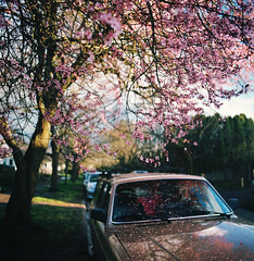 love letters, found in the wake of spring (manyfires) Tags: pink film car oregon mediumformat square portland petals spring cityscape blossom plum neighborhood hasselblad bloom pacificnorthwest pdx lazysunday plumtree laddsaddition hasselblad500cm sleptin tobespecific beforeheadingoutforawalk cinnamonsugarpullapartbread thenhadhomemadebreadforbreakfast nowtoshowerandworkonphotos thenreadinbedfortwohours andgivetherainachancetoletupabit