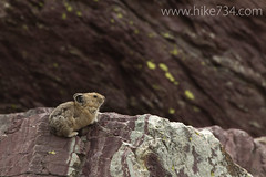 "Pika • <a style=""font-size:0.8em;"" href=""https://www.flickr.com/photos/63501323@N07/6964907880/"" target=""_blank"">View on Flickr</a>"