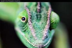 MACRO (1/?) ( SUMAYAH ) Tags: ca canada macro vancouver canon photography eos lizard 550d sumayah