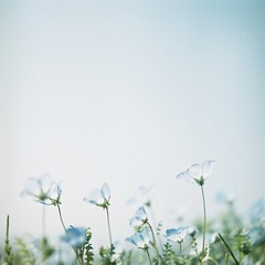 *nemophila (fangchun15) Tags: blue flower 120 6x6 film japan kodak hasselblad ektacolor160 ひたち海浜公園 ネモフィラ