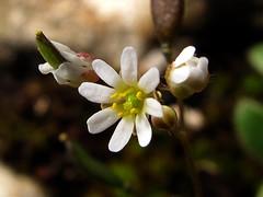 Mini flor * Erophila verna (jacilluch) Tags: white flower macro blanco fleur flor blossoms drabaverna nailwort springdraba shadflower