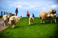 Sprint auf dem Deich (dubdream) Tags: people animal germany landscape nikon dof sheep run northsea dike d300 colorimage ording schlewigholstein dubdream