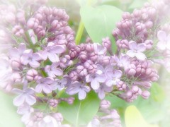 Pastel Lilac ( Katie ann) Tags: beautifulflowers windsong butterflydreams wonderfulphotos loveforphotography artistspotlight natureiswonderful worldflowers pinknpowerful thebestgallery ultimatebrillianteyejewel handselectedphotographs flowersonflickr certifiedphotographer composersbreath floraaroundtheworld frogpondflorals lartedellanatura lamiasanata ourwonderfulandfragileworld madaboutflowers mostbeautifulmacroimages
