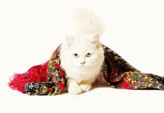 tena cat (Zaina Al-Sanea) Tags: eye cat studio zaina alsanea flickrandroidapp:filter=none zalsanea