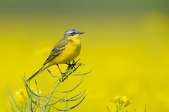 Blue-headed wagtail (Motacilla flava) (m. geven) Tags: man male bird nature animal yellow fauna spring call singing bright song natuur veer oil april lente geel dier longtail avian hel biodiesel vogel olie oiseaux songbird avifauna lied rapeseed gelderland zang voorjaar zingen breedingplumage motacillaflava nld pluim bedreigd roep weidevogel passerine threatened akker roepen zangvogel redlist sierlijk fluiten akkerbouw gelekwikstaart blueheadedwagtail summerbird gewas zomergast schafstelze bouwland rodelijst zingend meadowbird akkervogel gracieus rodelijstsoort zomervogel broedkleed redlistspecies langestaart bergeronetteprintanire rodelijstnederland subspflava nederlandthenetherlandsniederlande bergeronetteprintanire territoriun koolzaaad koolzaadakker