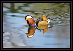 la mandarina non si mangia! :-D (Susy Maglione) Tags: birds uccelli animali anatramandarina