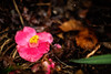 Perpetual Life (moaan) Tags: life cold flower rain digital 50mm flora dof bokeh live may petal fallen utata aomori alive camellia weeping raindrop 2012 青森 f12 inlife ef50mmf12lusm canoneos5dmarkiii shimofuro 下風呂