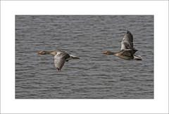 Grauwe ganzen in de vlucht (elly-b56) Tags: oostvaardersplassen grauweganzen