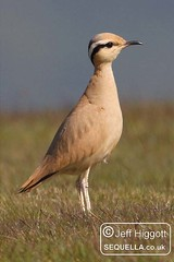 Cream-coloured Courser [IMG_8948a] (Jeff Higgott (Sequella.co.uk)) Tags: herefordshire creamcoloured courser creamcolouredcourser radnorhill