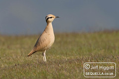 Cream-coloured Courser [IMG_8948] (Jeff Higgott (Sequella.co.uk)) Tags: herefordshire creamcoloured courser creamcolouredcourser img8948 radnorhill