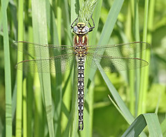 Hairy dragonfly - Brachytron pratense (Roger H3) Tags: hairy insect odonata dragonly