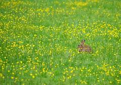Lièvre et boutons d'or (Lunatique-girl) Tags: flowers fleurs conejo rabbits hase champ rambouillet hasen kani jackrabbit krolik pré hazen pentaxkx boutondor kanin herbes lebre bossu capucin lièvre lièvres lepri liebre lepus зайцы שפן 野兔 oreillard rouquin kuneho liebres lebres lagomorphe บ lagomorphes ノウサギ ख़रगोश แร บิท