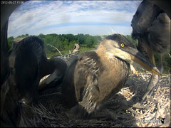 Sunday morning. The chicks are beginning to resemble their parents. (y.mclean) Tags: heron nest cornell ornithology greatblueheron sapsuckerwoods cornelllabofornithology